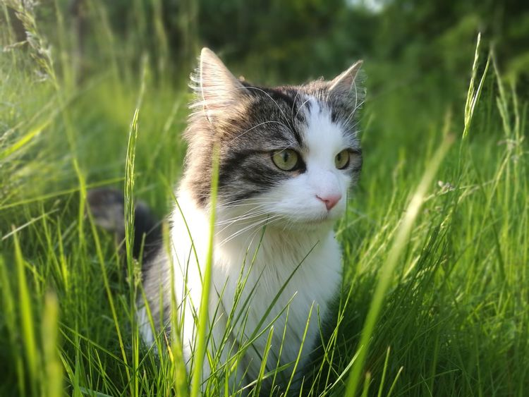 Grass Pets Domestic Cat Nature Outdoors