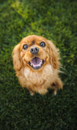 Cavalier King Charles Spaniel dog Cavalier King Charles Spaniel Cavalier King Charles Animal Themes Close-up Day Dog Domestic Animals Mammal No People One Animal Outdoors Pets Purebred Dog Spaniel