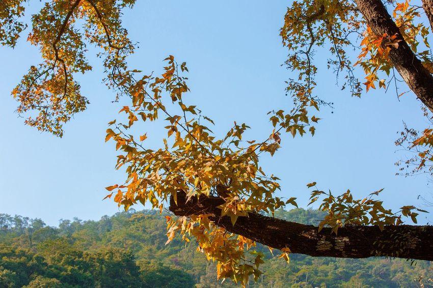 好心情(1) Tree Growth Low Angle View Branch Nature Beauty In Nature Day No People Leaf Outdoors Sky Clear Sky
