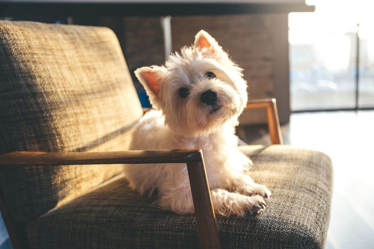 Cairn Terrier Sitting On Chair