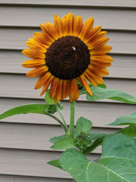 """""""no filter"""" """"harvest sunflower"""" Bees Buzzing Bright Orange Color Red Color Gold Colored Green Tan EyeEm Selects Summer Exploratorium Wonder Nature Growth Flower Head Flower Sunflower Yellow Petal Leaf Uncultivated Summer Pollen Blooming In Bloom Flowering Plant Blossom Plant Life"""