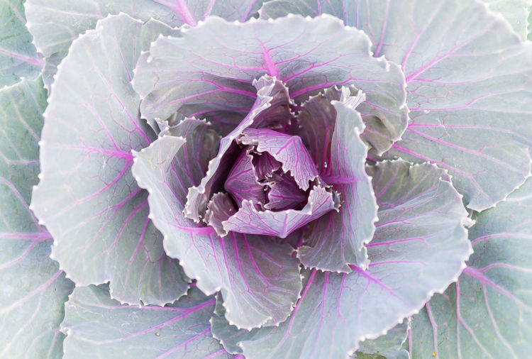 Violet or purple Cabbages for background in ornament Cabbages in Kale Cabbages texture leaves. Kale Flowers Natural Nature Beauty In Nature Cabbage Flower Head Flowering Plant Freshness Growth Kale Kale Cabbage Kale Flower Kale Leaves Kale Salad Leaf Leaves Nature Plant Part Purple Vegetable