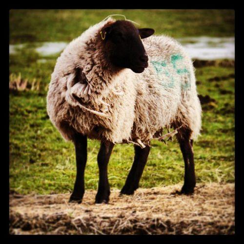 Mummy sheep
