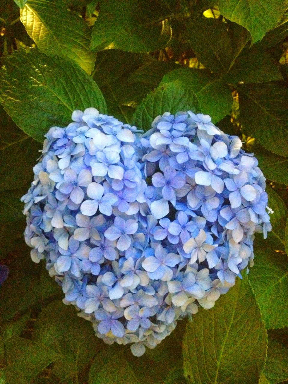 Close-Up Of Heart Shape Hydrangeas Blooming In Park
