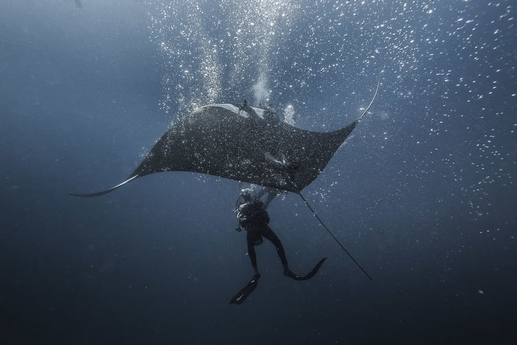 Low Angle View Of Manta Ray And Scuba Diver In Sea