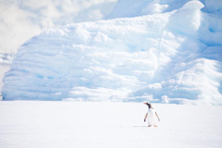 Full Length Of Penguin On Snowy Field