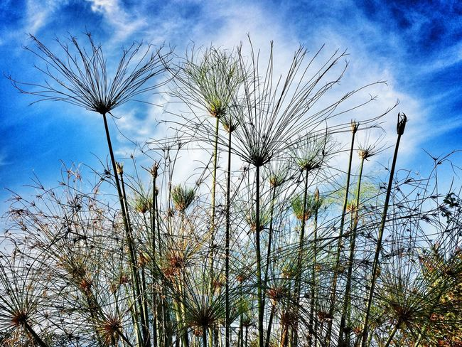 Papyrus Taking Photos Hello World Sicily Getting Inspired Sky Clouds And Sky Plants Plant Nature Nature_collection My Elios Garden