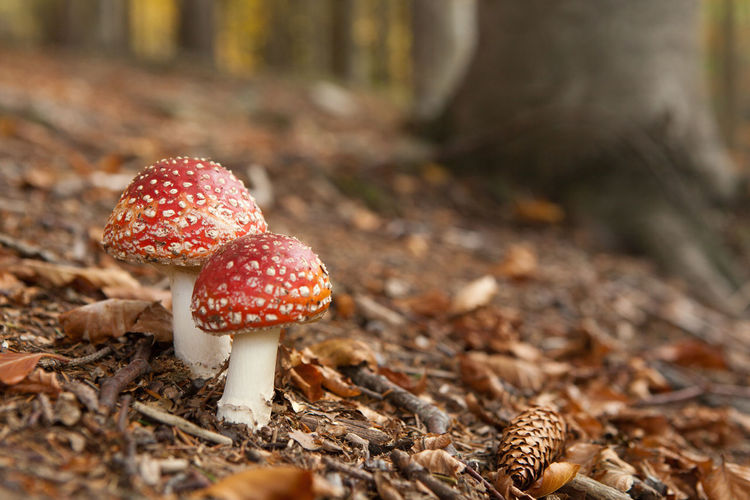 Close-Up Of Fly Agaric Mushroom Growing At Forest