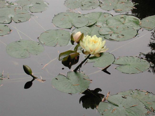 Beauty In Nature Floating Floating On Water Flower Fragility Freshness Growth High Angle View Lake Leaf Leaves Lily Pad Lotus Water Lily Nature Plant Pond R.tullis Reflection Water Water Lily Waterfront