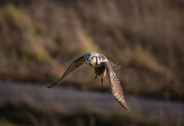 northern hawk owl with a water vole Northern Hawk-owl Surnia Ulula Animal Themes Animal Wildlife Animals In The Wild Bird Bird Of Prey Day European Water Vole Flying Hawk Owl Mid-air Nature No People One Animal Outdoors Owl Spread Wings Water Vole