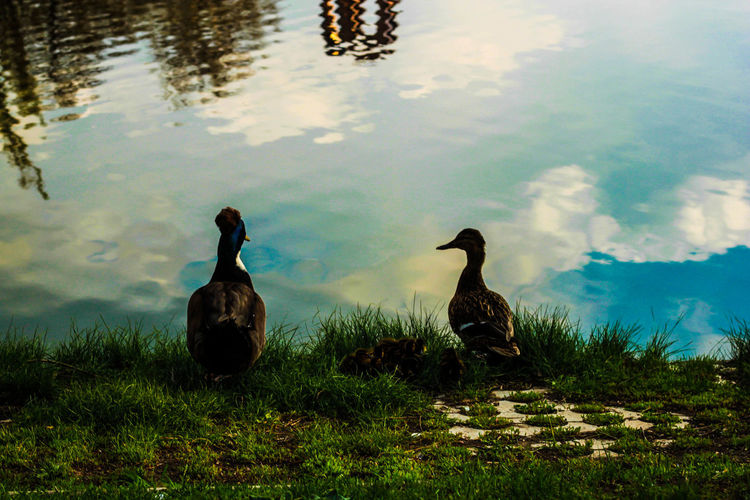 Side view of two ducks in lake