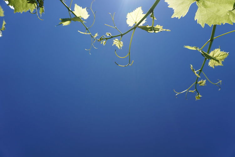 Low angle view of branches against clear blue sky