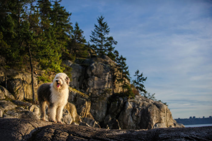 Old English Sheepdog outdoor portrait English Sheepdog Nature Scenic Standing Animal Themes Beauty In Nature Cliff Day Dog Forst Mammal Nature No People Old English Sheepdog One Animal Outdoors Outside Photography Portrait Rock - Object Rocks Sheepdog Sky Tree