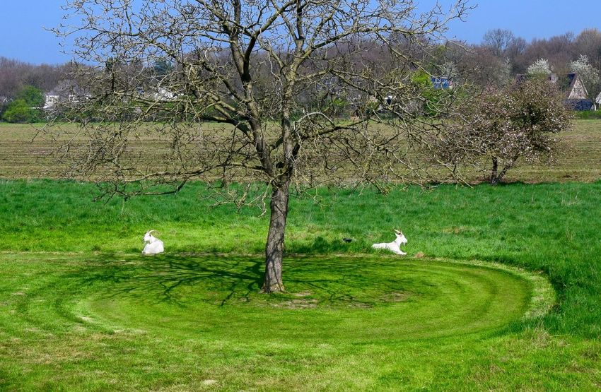 The grass is always greener on the other side... Grass Animal Themes Field Tree Bird Nature Growth Green Color Domestic Animals No People Day Beauty In Nature Outdoors Animals In The Wild Dutch Landscape Dutch Countyside Goat Long Goodbye