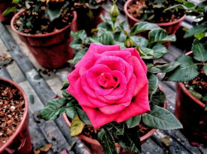 Pink Rose Mawar Rose🌹 Flowers Flower Flora Pink Rose Cameron Highlands Malaysia VSCO Vscocam