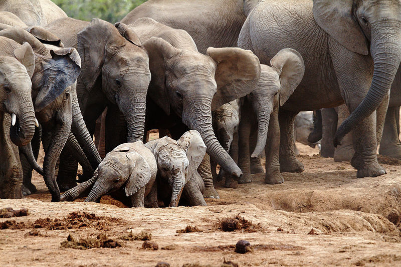 African elephant with calves on field