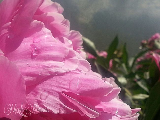 Flowers Raindrops Pink Flowers Nature_collection