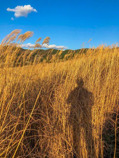 風に影も揺れる。My shadow is shaking from the wind. Pampas Grass Backlight Sunset Silhouettes Sunset Sky Growth Field Blue Day Tranquility Nature Outdoors Landscape Tranquil Scene No People Beauty In Nature Agriculture Plant Clear Sky Tree Scenics Grass Rural Scene