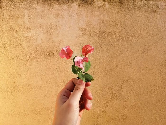 Cropped hand holding flower against wall