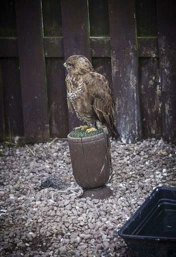 Animal Themes Birds Of Prey Buzzard  Day Nature No People Outdoors Petting Zoo