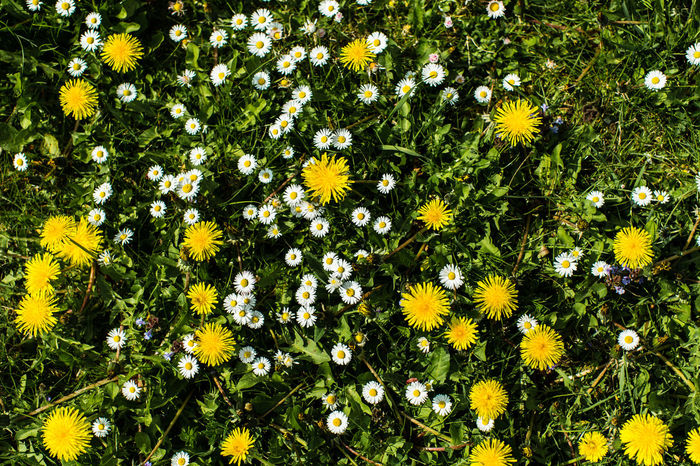 Meadow Daisies - (c) Nidal Sadeq Daisies Daisy Grass Meadow Flowers Beauty In Nature Black-eyed Susan Blooming Botany Day Flower Flower Head Flowerbed Fragility Freshness Grassland Growth Hawkbit Meadow Nature No People Outdoors Petal Plant Summer Yellow