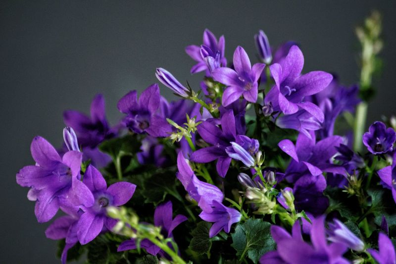 Forziamo la primavera che stenta Campanules Primavera Flower Head Flower Petal Purple Close-up Lilac