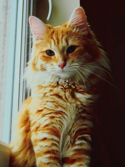 Domestic Cat Pets One Animal Feline Domestic Animals Animal Themes Mammal Portrait Looking At Camera No People Indoors  Ginger Cat Close-up Day