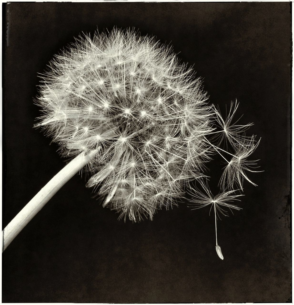 flower, dandelion, fragility, freshness, close-up, flower head, no people, plant, nature, beauty in nature, black background, studio shot, night, outdoors