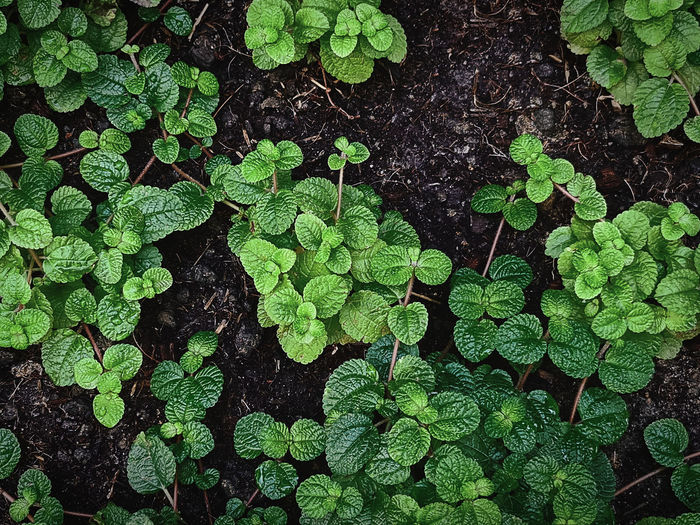 High angle view of fresh green mint plants against the soil