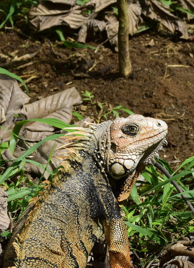 #iguana Animal Markings Beauty In Nature Day Focus On Foreground Nature No People Outdoors Plant