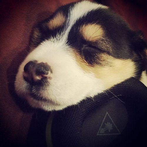 New puppy! Still debating a name for the little guy. Puppy Corgi Littleterror