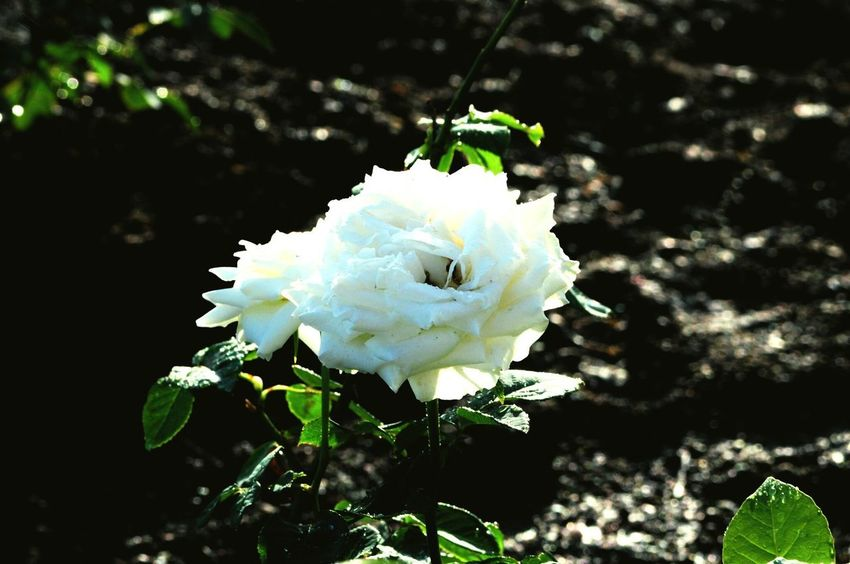 Rose🌹 White Color White Rose Outdoors Outdoor Photography Eyeem Philippines Nikon Nikonphotography Flower Collection Rose Collection Flower Rose - Flower Plant In Bloom Blooming