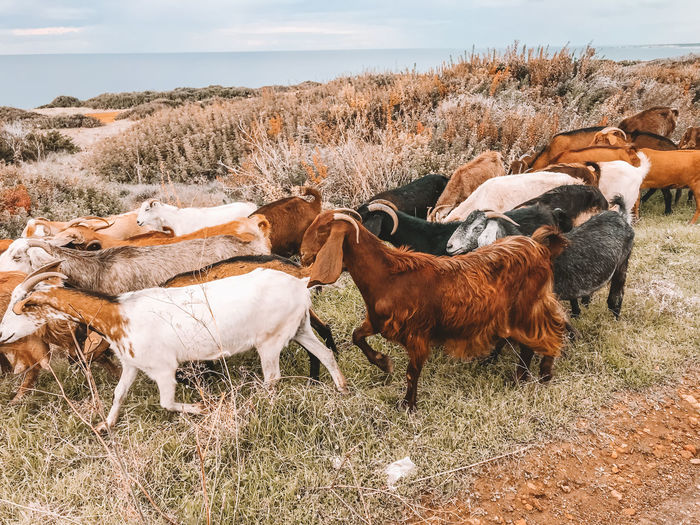 Mammal Group Of Animals Domestic Animals Animal Animal Themes Field Domestic Livestock Land Vertebrate Pets Grass Nature Plant No People Day Landscape Cattle Environment Brown Herbivorous Outdoors Herd