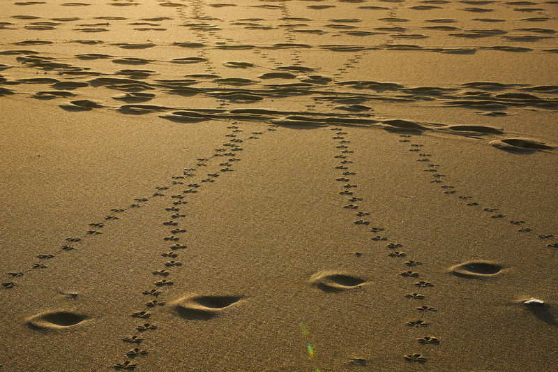 Footprints... Sand FootPrint Land Beach No People Nature High Angle View Day Animal Track Track - Imprint Water Tranquility Wet Outdoors Print In A Row Desert Paw Print Mystery Animal Arid Climate Gold Colored Footpath Scenics Golden Hour