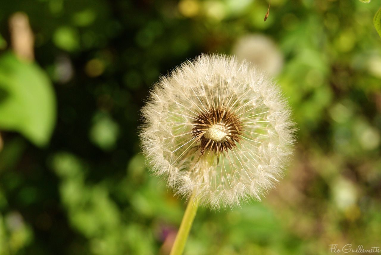 flower, dandelion, nature, growth, fragility, focus on foreground, plant, beauty in nature, outdoors, close-up, flower head, day, freshness, no people