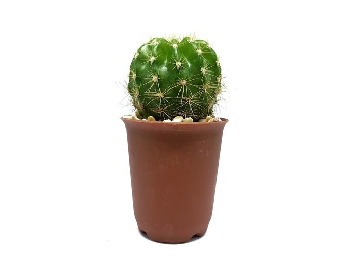 Green cactus in the flowerpot on white background White Background Studio Shot Cactus Flowerpot Green color Nature Plant No People Close-up