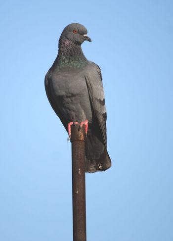Wild pigeon Bird Indian Birds Close-up
