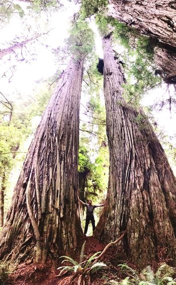Tree Trunk Tree Growth Nature Trunk Forest Bark Day Outdoors Climbing Rope Swing Beauty In Nature No People Redwoods The Week On EyeEm