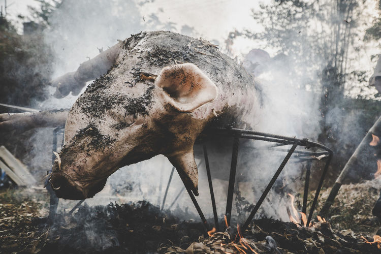 Pig Cooking Burn Burning Fire Culture Culture Of Thailand Tradition Traditional Culture Traditional Festival Meat Man Meat Slaughter Animals