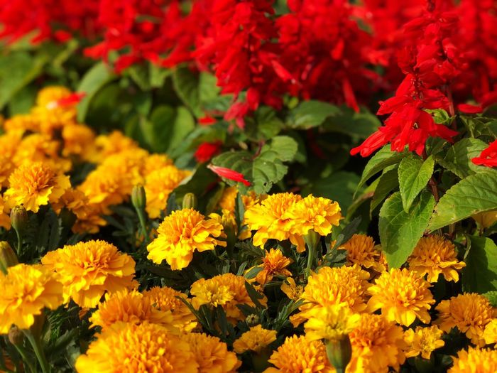 High angle view of marigold flowers blooming outdoors
