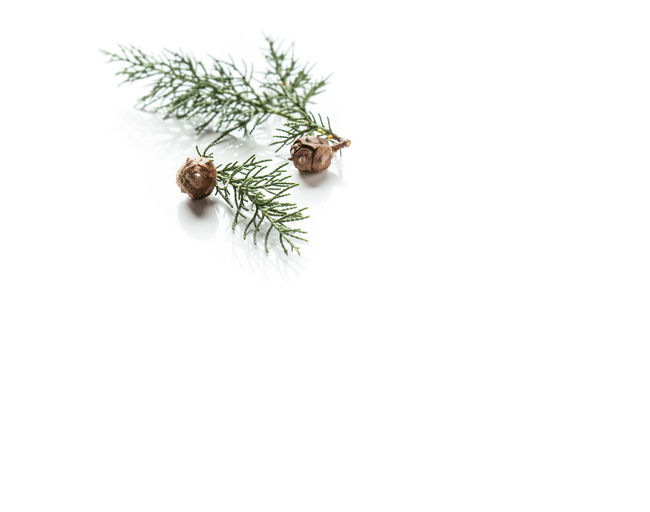 High angle view of pine tree against white background