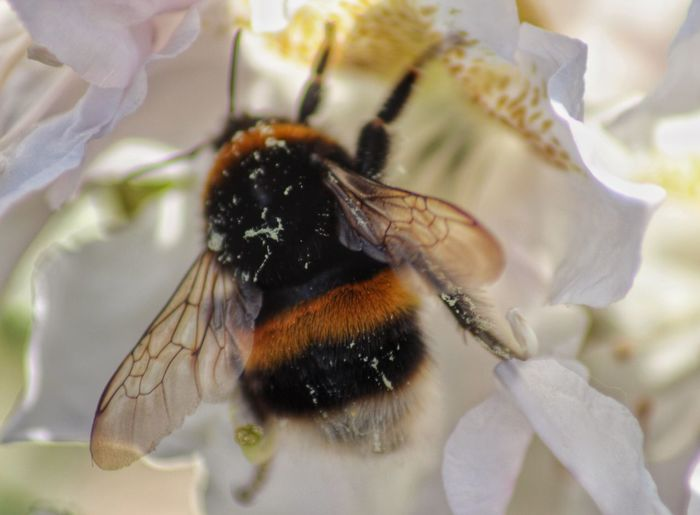 Close-Up Of Bumblebee On White Flower