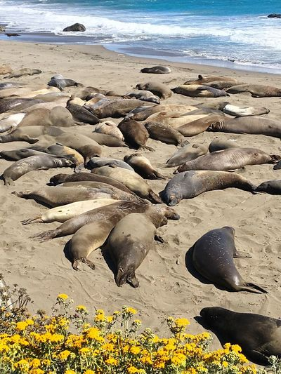 Hundreds of Elephant seals Enjoying the summer sun Beach Land Sea Water Sand Nature Beauty In Nature Day Tranquility No People Scenics - Nature Sunlight High Angle View Outdoors Non-urban Scene Animal Sky Motion Tranquil Scene Surface Level The Great Outdoors - 2018 EyeEm Awards