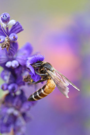 Bee Lavender Flower Nature Insect Pollen Honey Plant Macro Summer Purple Pollination Nectar Garden Bees Background Flowers Bumble Violet Color Wild Spring Blossom Bloom Herb Lavandula Wing Season  Animal Beautiful Floral Outdoors Close Up Lavander Fly Closeup Bumblebee Flora Small Yellow