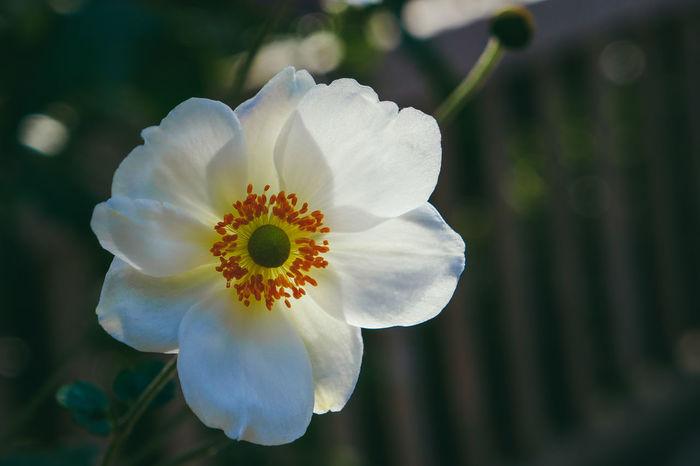 Nature Flowerwhite Garden Flowers Lagrandemotte Flower Head Flower Petal Plant Pistil Botany