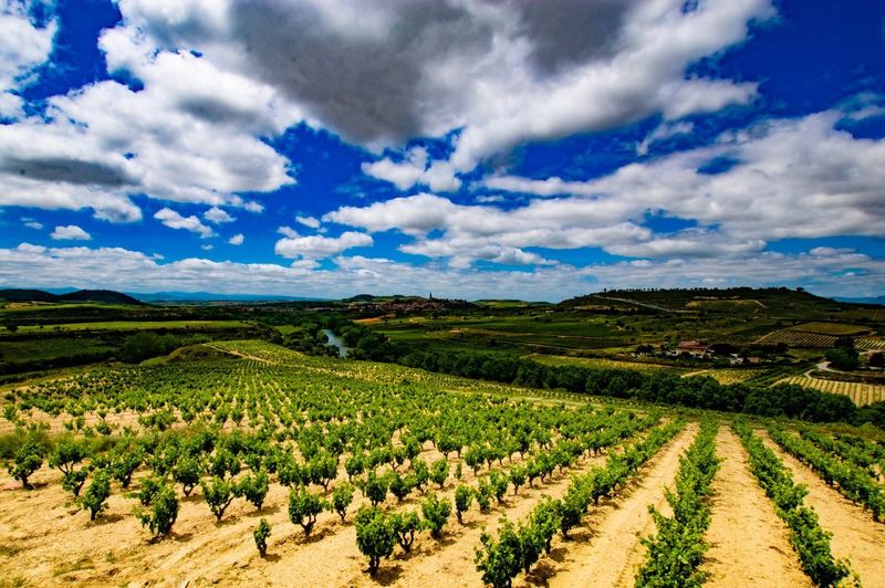 Vines Vineyard Rioja Cloud - Sky Sky Landscape Agriculture Scenics - Nature Field Environment