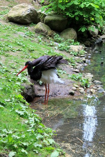 Black Stork Animal Portrait Stork Beautiful Nature Animal Photography Enjoying Nature Rare Sight Flapping Its Wings Bird