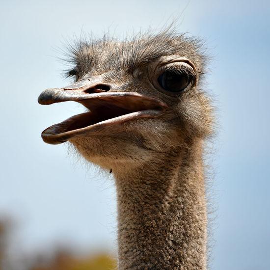 Headshot of an ostrich