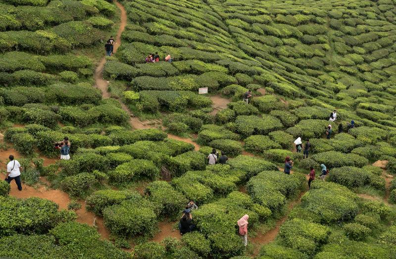 High angle view of people at tea plantation