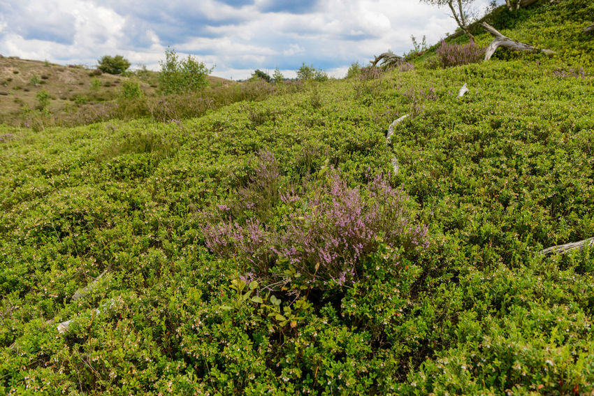 Tafelberg hiking route in Hulshorst the Netherlands Hulshorst Netherlands The Netherlands Beauty In Nature Cloud - Sky Day Green Color Heather Hiking Trail Holland Landscape Nature No People Scenics Tafelberg Tranquil Scene Tranquility